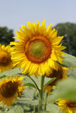 Beautiful sunflower in the sunny day Stock Photos