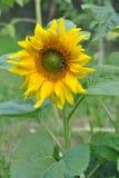 Beautiful sunflower in sunny garden stock photo