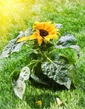 Beautiful sunflower in the sunshine. Royalty Free Stock Photography