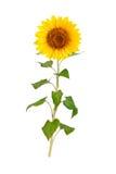 Beautiful sunflower on white background. Royalty Free Stock Photography