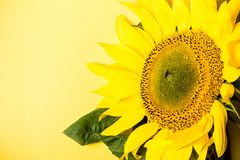 Beautiful sunflower on yellow background, copy space stock photos
