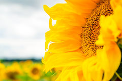 Beautiful sunflower Royalty Free Stock Images