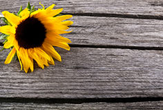 Beautiful sunflower yellow flower on wood. En background Stock Images