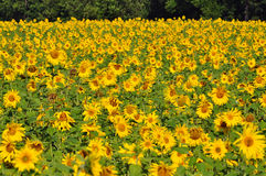 Beautiful Sunflowers. Sunflowers growing on a field for production of vegetable oil stock images