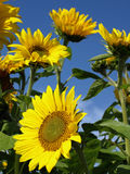 Beautiful sunflowers Royalty Free Stock Image