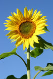 Beautiful Sunflowers. And a blue sky Royalty Free Stock Photo