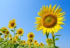 Beautiful sunflowers Royalty Free Stock Photo