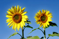 Beautiful Sunflowers. And an blue sky Stock Images
