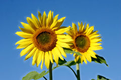 Beautiful Sunflowers. And an blue sky Stock Photography