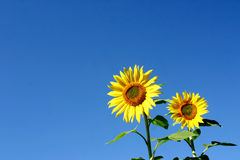 Beautiful Sunflowers. And an blue sky Royalty Free Stock Image