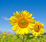 Beautiful sunflowers. Against blue sky stock photo