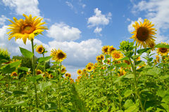 Free Beautiful Sunflowers Stock Images - 26352244
