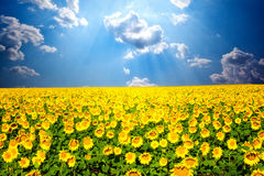 Beautiful sunflowers Stock Photos