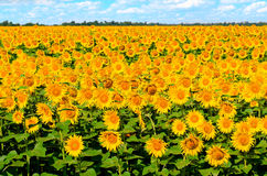 Beautiful sunflowers. Against a blue sky in summer Stock Photos