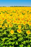 Beautiful sunflowers Stock Image