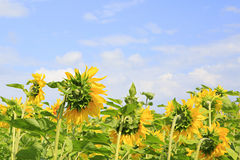 Beautiful sunflowers against the sky. Stock Photos