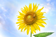 Beautiful sunflowers with bee on bright blue sky Royalty Free Stock Images