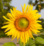 Beautiful sunflowers blooming Stock Photography