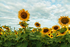 Beautiful Sunflowers blooming Royalty Free Stock Photos