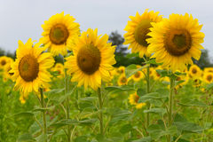 Beautiful sunflowers Royalty Free Stock Photos