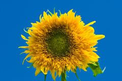 Beautiful sunflowers with blue sky Royalty Free Stock Photo