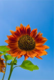 Beautiful sunflowers with blue sky Royalty Free Stock Images