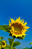 Beautiful sunflowers with blue sky Stock Images
