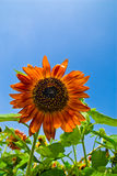 Beautiful sunflowers with blue sky Stock Photography