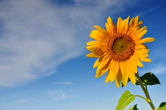 Beautiful sunflowers with blue sky and clouds Royalty Free Stock Photos