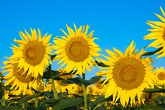 Beautiful Sunflowers and blue sky Stock Photo