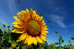 Beautiful sunflowers with blue sky and sunburst. Beautiful sunflowers with the bees and the blue sky Royalty Free Stock Photos