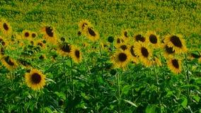 Beautiful Sunflowers stock video footage