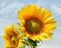 Beautiful sunflowers Stock Photography