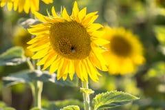 Beautiful Sunflowers, closeup Stock Photography