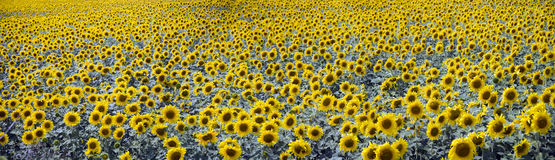 Beautiful sunflowers field. Many beautiful sunflowers on the field Stock Image