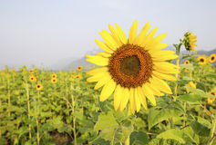 Beautiful sunflowers. In the field Stock Photos