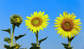 Beautiful sunflowers. In the field Stock Photo