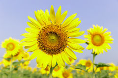 Beautiful sunflowers. In the field Royalty Free Stock Image