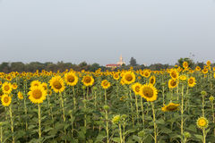 Beautiful sunflowers field Stock Photography
