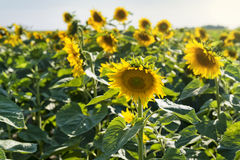 Beautiful sunflowers field Royalty Free Stock Photos