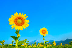 Beautiful sunflowers in the field. Beautiful sunflowers and blue sky Stock Photos