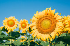 Beautiful sunflowers in the field Royalty Free Stock Images