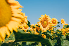 Beautiful sunflowers in the field Royalty Free Stock Photos