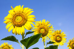 Beautiful sunflowers Stock Photography