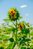 Beautiful sunflowers in the field with bright blue sky Stock Photo