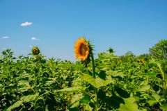 Beautiful sunflowers in the field with bright blue sky Royalty Free Stock Image