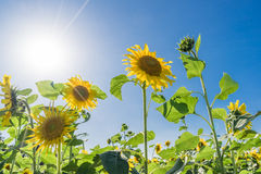 Beautiful sunflowers in the field with bright blue sky Stock Images