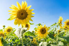 Beautiful sunflowers in the field with bright blue sky Royalty Free Stock Images