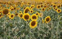 Beautiful sunflowers in field Royalty Free Stock Photo