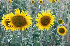 Beautiful sunflowers in field Royalty Free Stock Photography